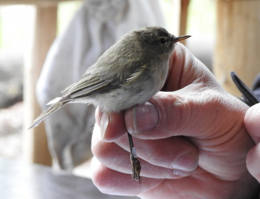vogelringsessies in het zwin natuur park
